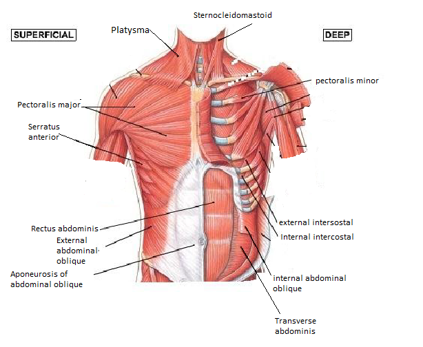 Muscles Of The Chest And Abdomen Kirtleys Anatomy Website